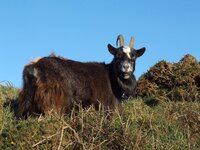 Wild Goat in the Valley of the Rocks