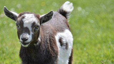 Brown and white goat on the green grass