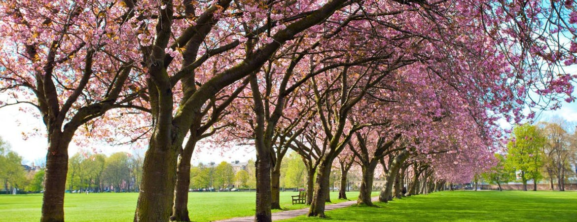 Blossom trees in The Meadows park in Edinburgh