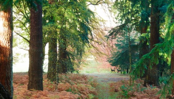 Roe deer and Douglas firs on Murthly Estate - Murthly Estate is beautiful in all seasons. Trees and wildlife are always there to be spotted (© Murthly Estate)