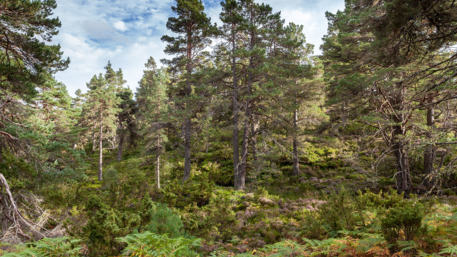 Discover Abernethy forest - There are Great forest walks in Abernethy Nature Reserve