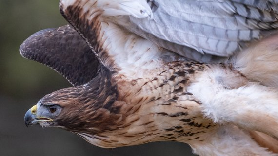 Loch Lomond Bird of Prey Centre Red-tailed Hawk (© Richard Lee on Unsplash)