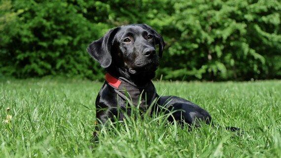 black-labrador-retriever-lying-on-grasses-162149