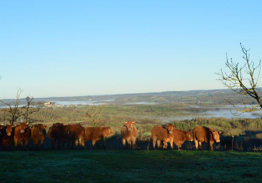 Limousin cows, Dordogne countryside