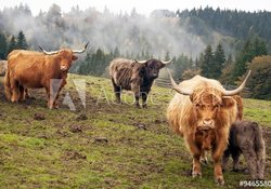 Generic pic of Highland cattle for all listings